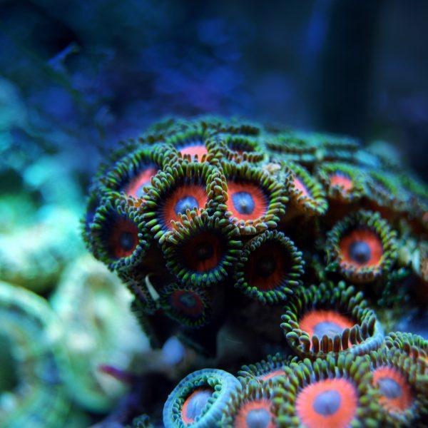 Korallen pflanzen